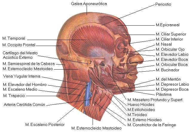 Músculos de la cara ~ #ComunicacionNoVerbal ~ Infobae.com