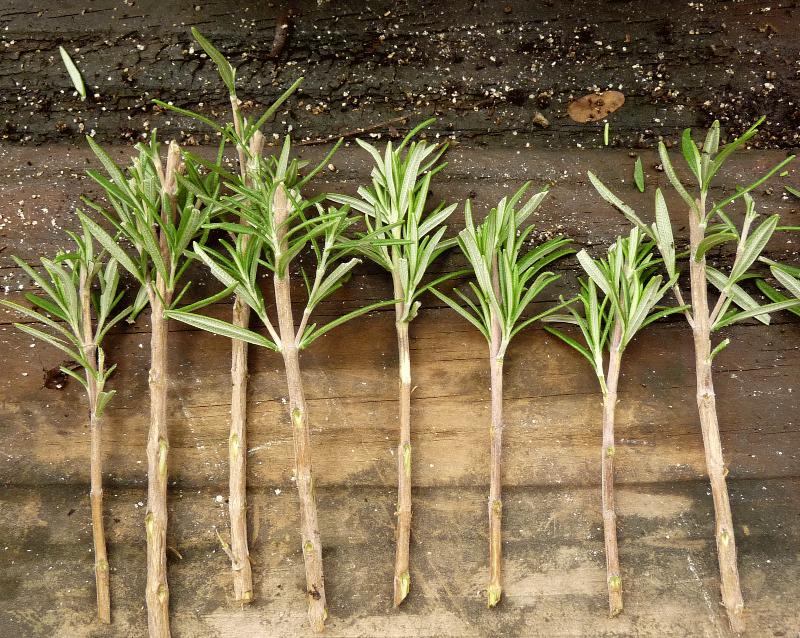 El momento de los gajos jardiner adebalc n for Planta ornamental que se reproduzca por esquejes