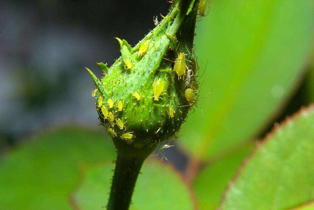 Las plagas en nuestro jardín: hormigas negras y pulgones ...
